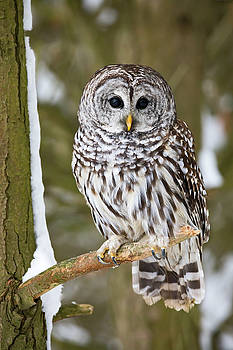 Animal - Bird - Barred Owl Perched On A Branch by CJ Park