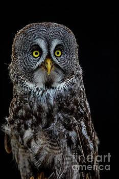 Animal - Bird - Great Gray Owl by CJ Park