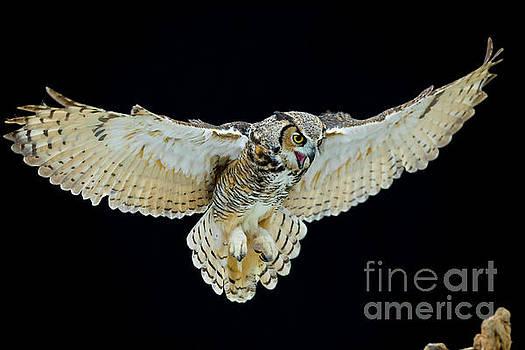 Animal - Bird - Great Horned Owl Wings Spread by CJ Park