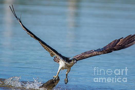 Animal - Bird - Osprey Catching a Fish by CJ Park