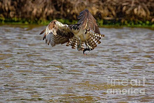 Animal - Bird - Osprey Flying Off With a Fish by CJ Park
