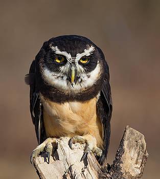 Animal - Bird - Spectacled Owl by CJ Park