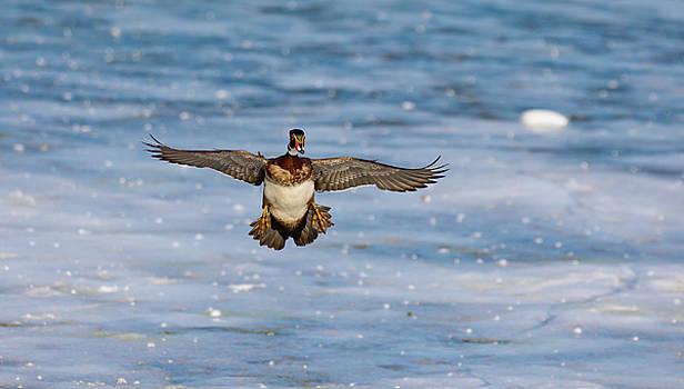 Animal - Bird - Wood Duck Preparing for a Landing by CJ Park