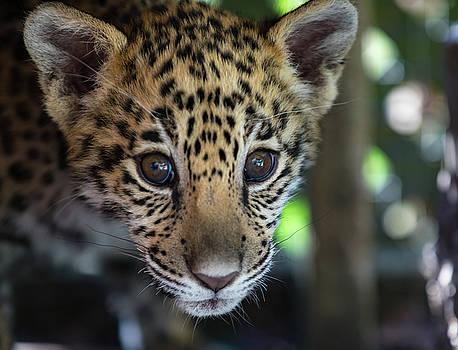 Animal - Jaguar Cub Close Up by CJ Park