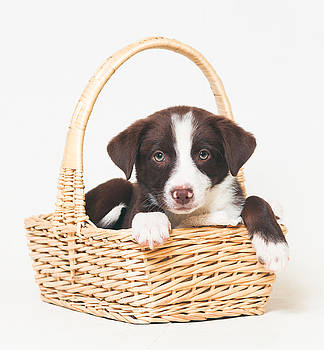 Animal Rescue Portraits - Border Collie in a Basket by Andrea Borden