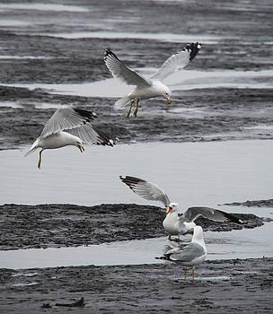 Animated Ring Billed Gulls by Jayne Gohr
