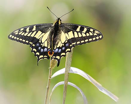 Anise Swallowtail by Marie Cardona