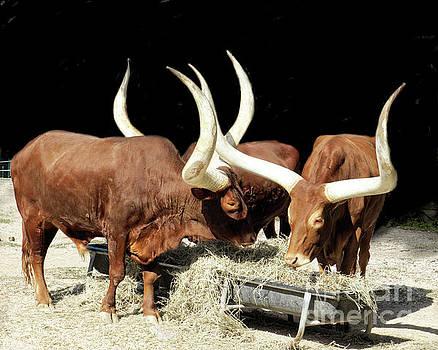 Ankole Longhorn Cattle by TN Fairey