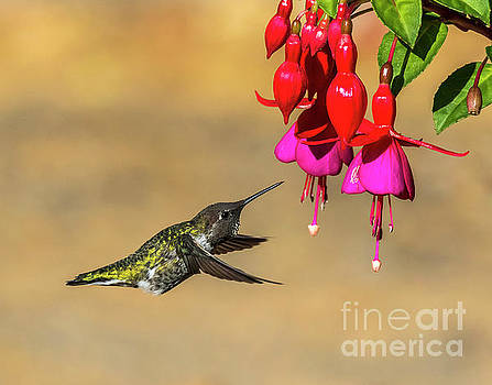 Anna And Hardy Fuchsia Flower by Sal Ahmed