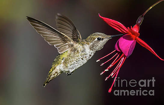 Anna Immature Hummingbird by Sal Ahmed