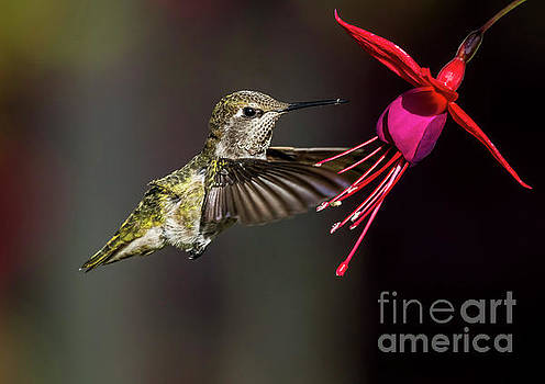 Anna Juvenile Hummingbird by Sal Ahmed