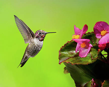 Anna's Hummingbird And Begonia 1 by Lara Ellis