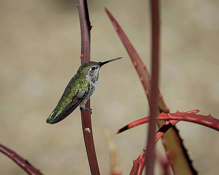 Anna's Hummingbird-IMG_281818 by Rosemary Woods-Desert Rose Images