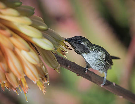 Anna's Hummingbird-IMG_283018 by Rosemary Woods-Desert Rose Images