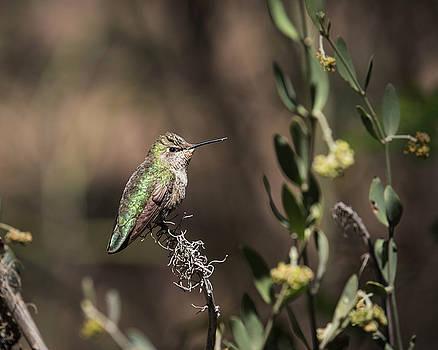 Anna's Hummingbird-IMG_428318 by Rosemary Woods-Desert Rose Images