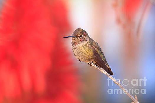 John F Tsumas - ANNAS HUMMINGBIRD