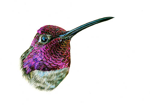 Anna's Hummingbird by Logan Parsons