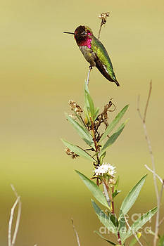 Anna's Hummingbird Sitting by Natural Focal Point Photography