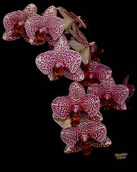 Gary Canant - Anniversary orchid plant on black