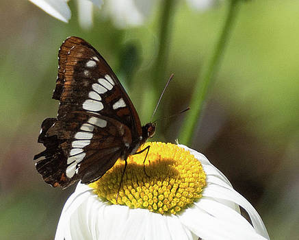 Lorquin's Admiral Butterfly 4 by Marilyn Wilson