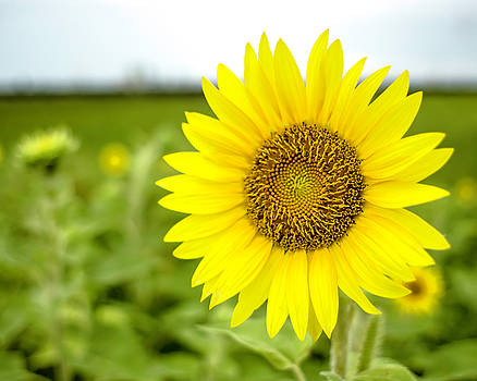 Chris Coffee - Another Common Sunflower