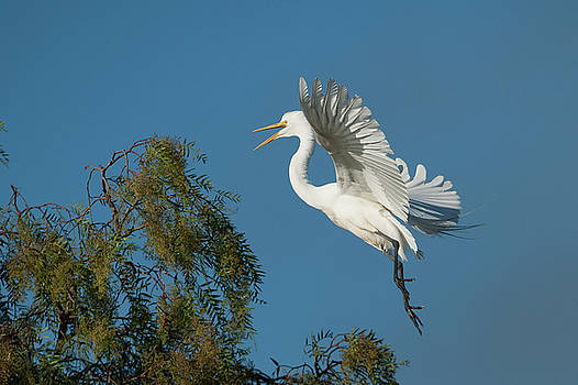 Another Egret  by Catherine Lau