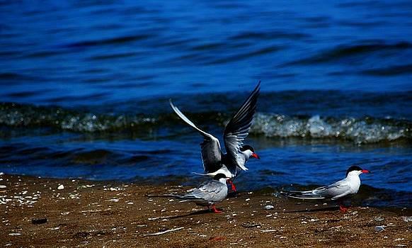 Another One take a Tern by Amanda Struz