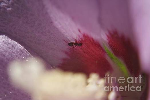 Ant in flower by Lori Amway