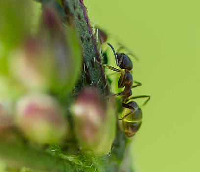 Ant on Stem by Don L Williams
