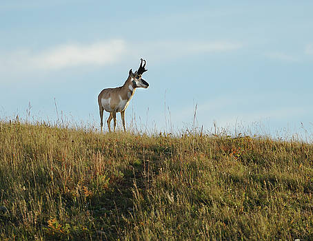 Antelope Buck on a Ridge by Bill Gabbert