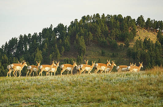 Antelope does follow buck by Bill Gabbert