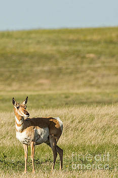 Antelope on the Prairie in South Dakota by Natural Focal Point Photography