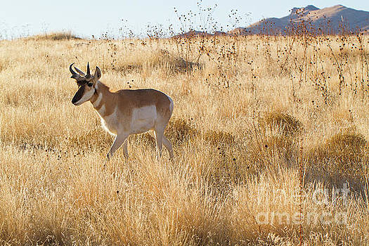 Antelope Walking #2 by Denise Lilly