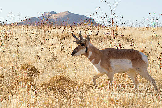 Antelope Walking by Denise Lilly