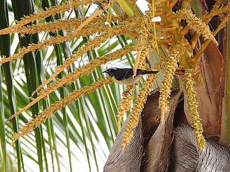 Kimberly Perry - Antiguan Sugar Bird