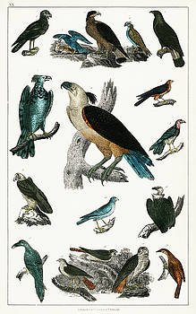 Antique handcolored ornithology by Oliver Goldsmith