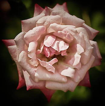 Antique Rose Rose by Michael Putnam
