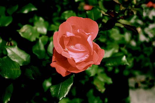 Sherri Williams - Antique Rose