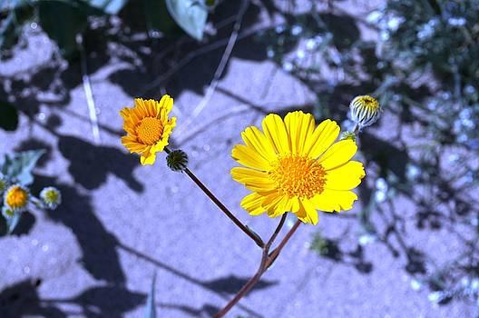 Anza Flower by Julia Ivanovna Willhite