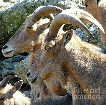 Cindy Treger - Aoudad - Barbary Sheep