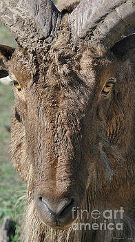 Aoudad Sheep Portrait by Inspirational Photo Creations Audrey Woods