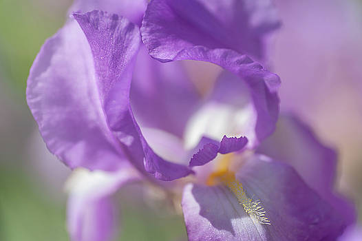 Jenny Rainbow - Aphrodite Macro. The Beauty of Irises