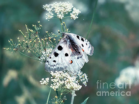 Apollo Butterfly  by Kasia Bitner