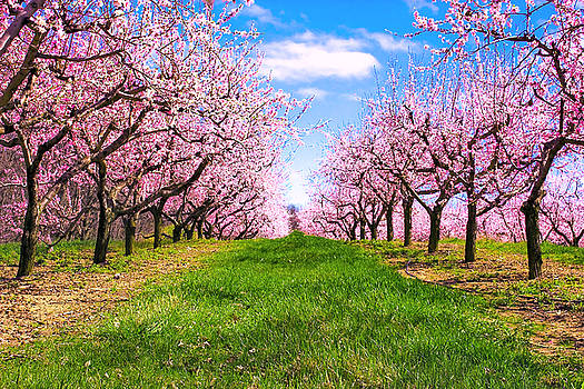 Apple Blossom Orchard by Jeramie Curtice