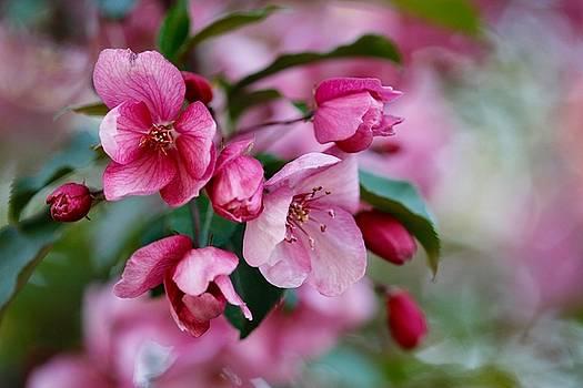 Apple Blossom by Shirley Kurian