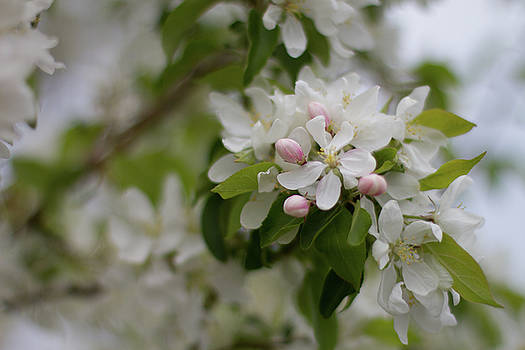 Apple Blossom Time by Sharon Wilkinson