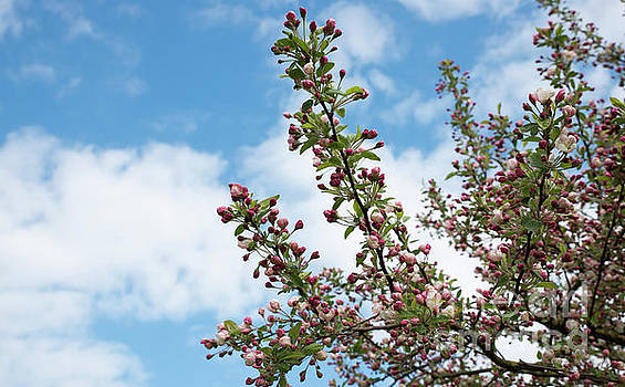 Apple Blossom Tree by Compuinfoto