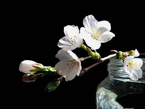 Apple Blossom White by Angela Davies
