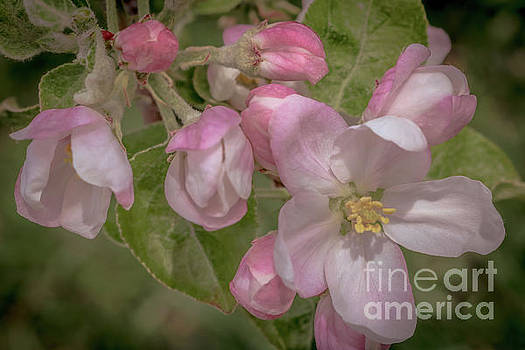 Apple blossoms 1 by Claudia M Photography