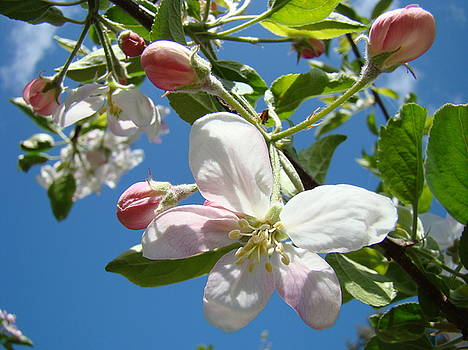 Baslee Troutman - APPLE BLOSSOMS Art Prints Blue Sky Spring Baslee Troutman